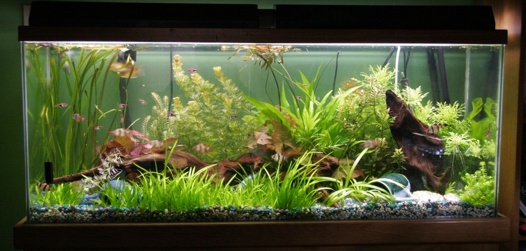 55 gallon planted aquarium